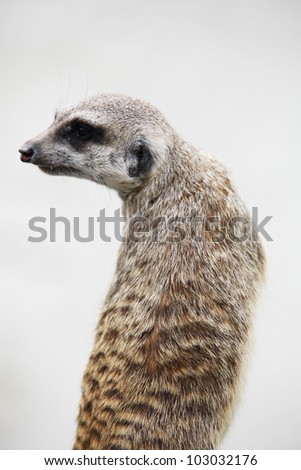 Cute suricate on the light background - outdoor scene