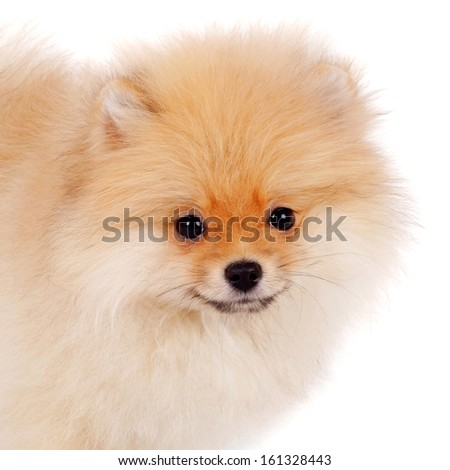 cute sweet little spitz dog