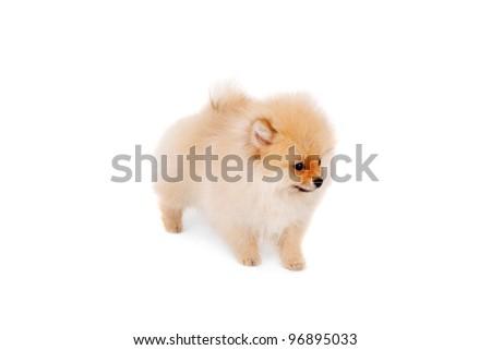 cute sweet little spitz dog
