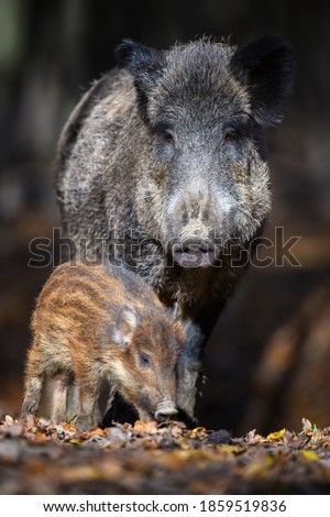 Cute swine sus scrofa family in dark forest. Wild boar mother and baby on background natural environment. Wildlife scene Photo stock ©