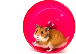 Cute Syrian hamster looking out of a pink hamster wheel (isolated on white, with copy space on the left for your text)