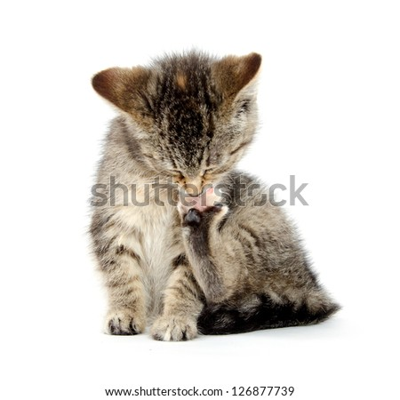 Cute tabby baby kitten chewing on its paw and taking a bath on white background