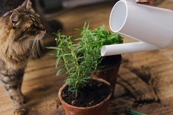 Cute tabby cat looking at watering fresh green basil and rosemary plant from modern watering can on background of dirty wooden floor. Pet and plants. Repot and cultivation aromatic herbs at home