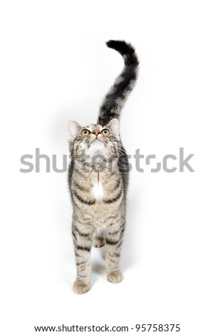 Cute tabby cat looking up and crying on white background