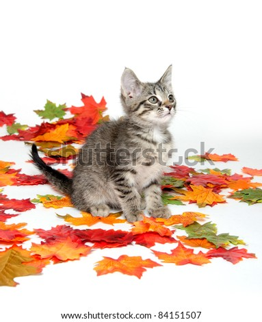 Cute tabby cat playing with colorful leaves on white background