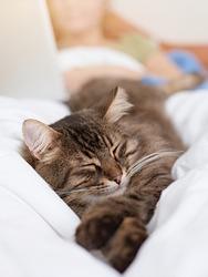 Cute tabby cat seeping in bed.