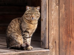 Cute tabby cat sitting in farm wooden hut house. Portrait tabby gray cat looking & sitting in wooden barn or shed. Tabby funny grey farm cat in garden rustic home. Kitten on ranch porch. Animal theme