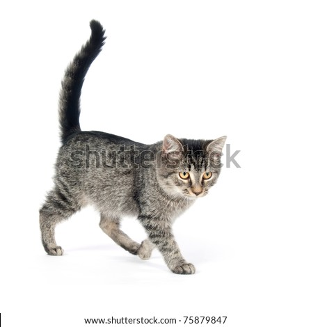 Cute tabby cat standing on a white background