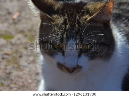 Cute tabby cat with tiger cat markings around his face. #1296131980