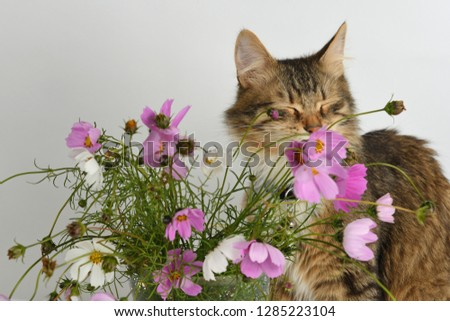 Cute tabby colored long-haired kitten dreaming with closed eyes near the beautiful bouquet of Cosmos/ Cosmos bipinnatus flowers in glass vase against white background.