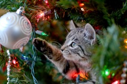 Cute tabby kitten in Christmas tree playing with ornament