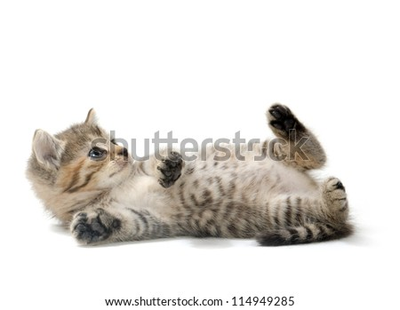 Cute tabby kitten laying down on white background