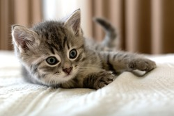 Cute tabby kitten lies on white plaid at home. Newborn kitten, Baby cat, Kid animal and cat concept. Domestic animal. Home pet. Cozy home cat, kitten. Close up.