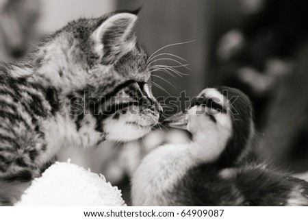 Cute tabby kitten meeting a duckling. Black and white image