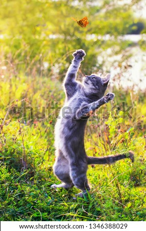 cute tabby kitten on a summer sunny meadow catches a flying orange butterfly jumping in clear weather in the green grass in the garden #1346388029