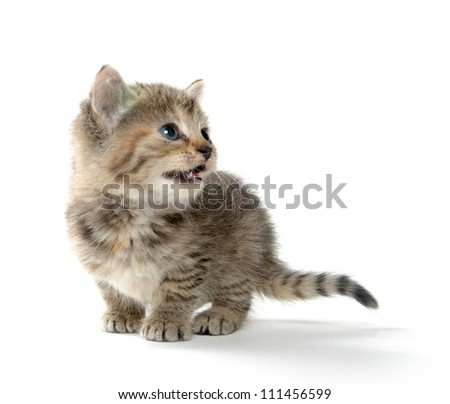 Cute tabby kitten on white backgorund