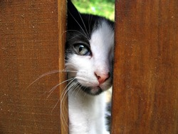 Cute tabby kitten peeking from behind wooden fence looking at the camera