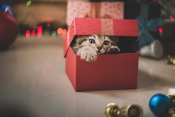 Cute tabby kitten playing in a gift box with Christmas decoration