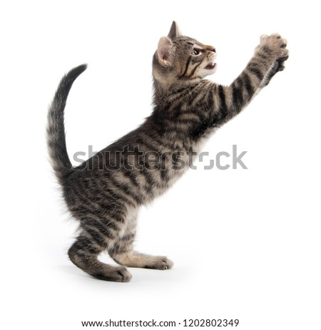 Cute tabby kitten playing isolated on white background