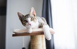 Cute Tabby Kitten Relaxing on Top of Cat Tree