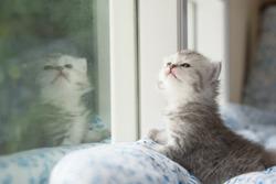 Cute tabby kitten sitting looking out the window