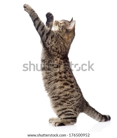 Cute tabby kitten standing on hind legs and leaping isolated on white background