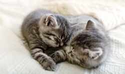 Cute tabby kittens playing sleeping together. Pretty Baby cats in love. Kids animal cat and cozy home concept. Home pets. Animal care.
