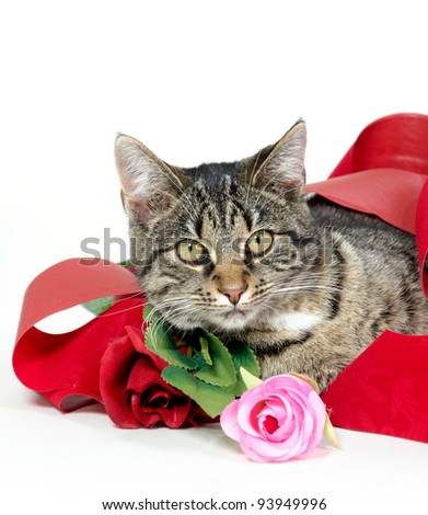 Cute tabby pet cat laying on a red blanket with roses for Valentine's Day