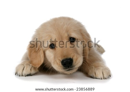 cute tan puppy with sleepy expression lifting up head
