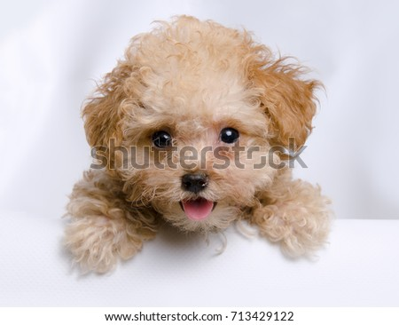 Cute teddy bear toy teacup toy poodle puppy looking over the bathtub