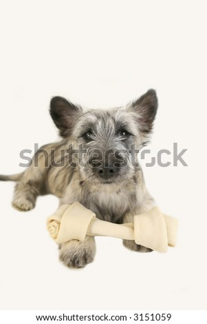 Cute Terrier pup with bone