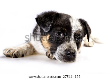 Cute Texas Blue Heeler (a cross breed of Australian Cattle Dog and  Australian Shepperd) puppy isolated on white. #275114129