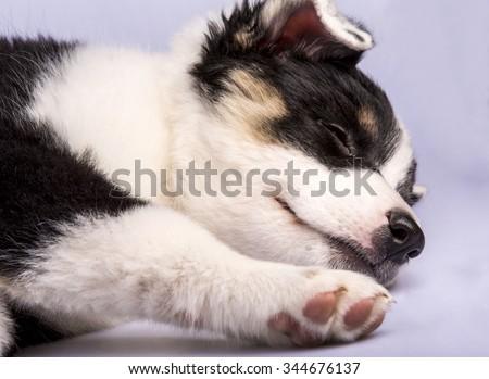 Cute Texas Blue Heeler (a cross breed of Australian Cattle Dog and Australian Shepperd) puppy sleeping .