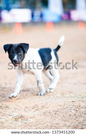 Cute Thai breed dogs are running on a clay yard, Danish Swedish Farmdog, Dog breeds. #1373451200