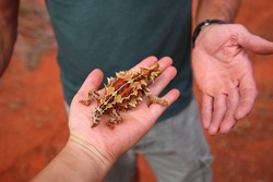 Cute Thorny Devil (Moloch horridus) lizard crawling on man's hand in Kings Canyon,  red center of Australia