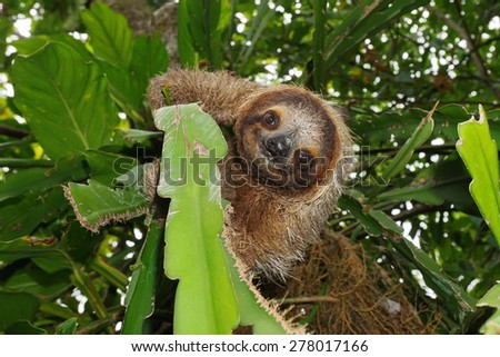 Cute three-toed sloth looking at camera in a jungle tree, wild animal, Costa Rica, Central America