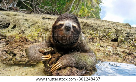 Cute three-toed sloth on the ground of tropical shore in the national park of Cahuita, Costa Rica, Central America