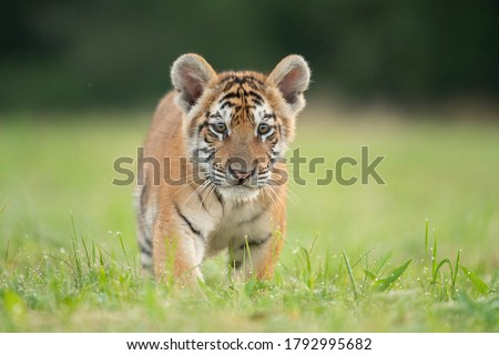 Cute tiger baby portrait outdoor Photo stock ©