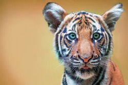 cute tiger cub with green eyes. The head is large.