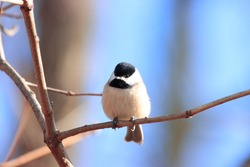 Cute tiny black capped chickadee with black eyes beak white underparts gray wings perched on brown branches in tree attractive vivid blue sky background cold sunny winter afternoon Nottingham Maryland