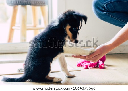 Cute tiny border collie puppy practicing tricks : paw! for treat