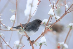 Cute tiny slate colored dark eyed junco with black eyes perched on brown branches in butterfly bush green leaves attractive background cold winter afternoon Nottingham Maryland