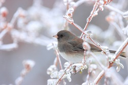 Cute tiny slate colored dark eyed junco with black eyes white underparts perched on frozen brown branches in butterfly bush green leaves freezing cold rain snowy winter afternoon Nottingham Maryland