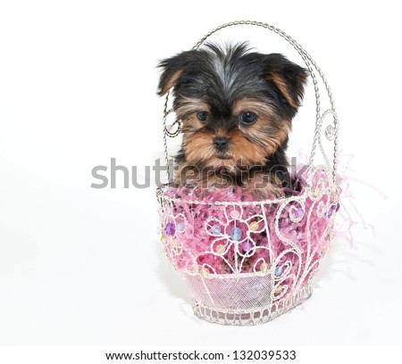 Cute tiny Yorkie puppy sitting in an Easter basket, on a white background.