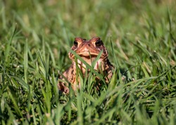 Cute toad watching through long grass. Close up with a green background.