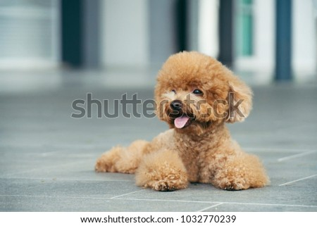 Cute toy poodle resting on concrete floor