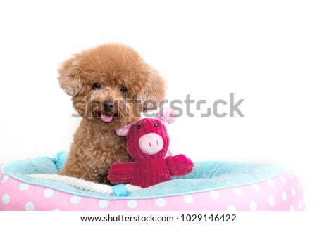 Cute toy poodle sitting in dog bed with soft toy