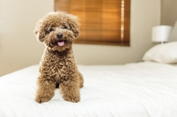 Cute Toy Poodle sitting on bed