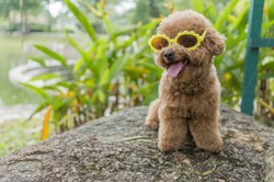 Cute Toy Poodle wearing Sunglasses Outdoor