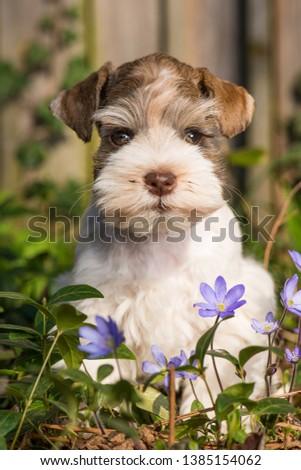 Cute toy schnauzer puppy in a spring flower meadow #1385154062